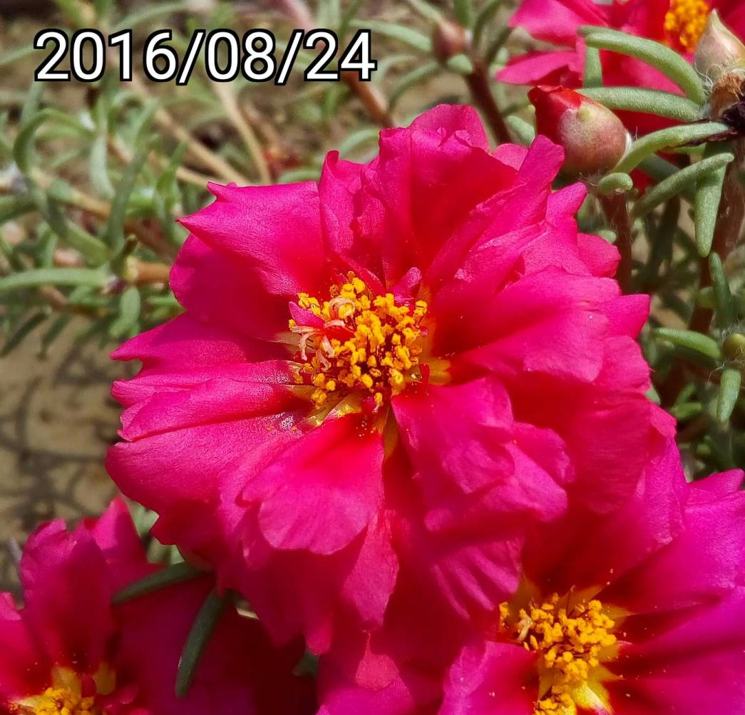 紫紅色複瓣松葉牡丹 Magenta multi-petalled Portulaca pilosa, kiss-me-quick, hairy pigweed
